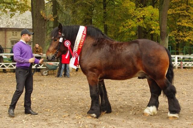 Polish Ardennes Horse